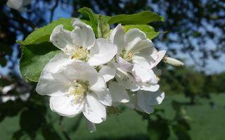 Apfelblüten - Nutzpflanze, Garten, Gartenbau, Frühling, Apfel, Apfelblüte, Knospe, Blüte, Blütenblatt, Kronblatt, Staubblatt, fün