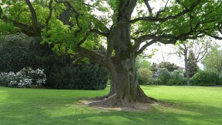 Pyramideneiche  - Säuleneiche, Stieleiche, Quercus robur fastigiata, Eiche, Laubbaum