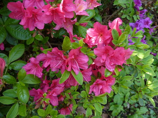 Rhododentron - Rhododendron, Rhododendren, Heidekrautgewächs, Ericaceae, Blüte, Blüten, Blütenblätter, Busch