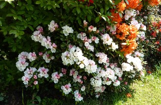 Rhododendron - Rhododendron, Rhododendren, Heidekrautgewächs, Ericaceae, Blüte, Blüten, Blütenblätter, Busch