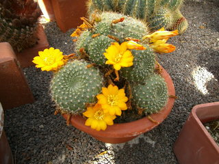 Blühender Kaktus - Kaktus, Blüte, blühen, Säulenkaktus, Stacheln, Sukkulent