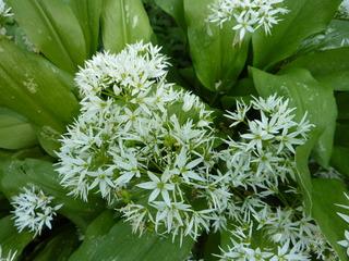 Bärlauch - Wildkräuter, Bärlauch, Garten, Wald, Blüte, weiß, Gemüsepflanze, Gewürzpflanze, Heilpflanze, Lauchgewächs