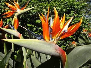 Strelitzie - exotisch, Pflanze, Afrika, Westafrika, Kamerun, Strelitzie, Papageienblume, orange, exotisch, Blüte, Wärme, Sommer, geöffnet, Blätter, Paradiesvogelblume