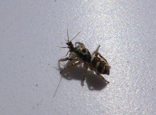 Zebra-Springspinne #2 - Insekt, Spinne, Springspinne, Mauer-Hüpfspinne, salticus cingulatus