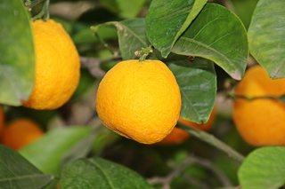 Orangenfrucht - Orange, Südfrucht, Zitrusfrucht, Obst, Orangenbaum, immergrün, Apfelsine, Rautengewächs, Frucht, orange, Hesperidien