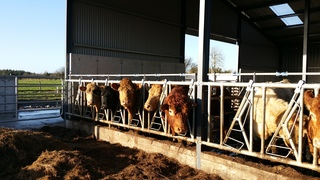 Kuhhaltung - Kuh, Kühe, Farm, Tier, Tiere, Landwirtschaft, Rindvieh, Nutztier, Milch, Fleckvieh, Wiederkäuer, Haustier, Tierhaltung