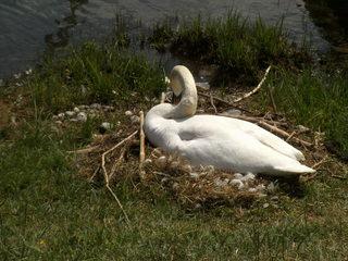 Brütender Schwan#2 - Schwan, Höckerschwan, brüten, Nest, Vogelnest, Vogel, weiß, Federn, Ente, braun, Wasser, Wasservogel