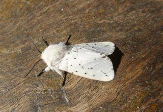 Weisse Tigermotte - Lepidoptera, Spilosoma menthastri, Arctiidae, Schmetterling, Falter, weiße Tigermotte, Breitflügeliger Fleckleibbär, Spilosoma lucricipeda, Nachtfalter