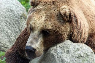 Braunbär - Braunbär, Bär, Säugetier, Fell, Winterruhe, braun, Tier, Winterruher