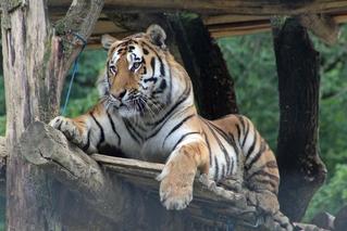 Tiger - Tiger, Raubtier, Fell, Fleischfresser, Zoo, Tierpark, Großkatze, Katze