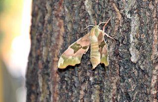 Lindenschwärmer #2 - Insekten, Insecta, Schmetterlinge, Lepidoptera, Schwärmer, Sphingidae, Mimas, Lindenschwärmer, Falter, Tarnfarben, Nachtfalter