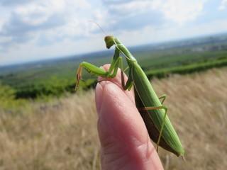 Gottesanbeterin (Mantis religiosa) - Heuschrecke, Fangschrecke, Klimawandel, Insekten, Rote Liste