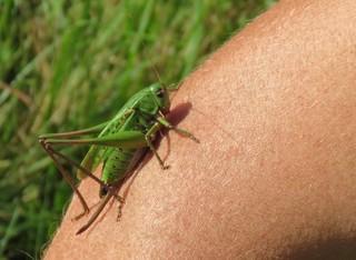 Warzenbeißer (Desticus verrucivorus) - Heuschrecke, Raubtier, Trockenbiotop, Wiese, Insekt