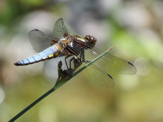 Plattbauch (Libellula depressa) - Libelle, Großlibelle, Pionierart, Flügel, Hautflügel, Insekt