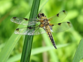 Viefleck (Libellula quadrimaculata) - Libelle, Großlibelle, Gartenteich, Flügel, Hautflügel, Insekt