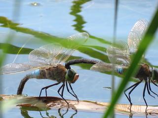 Kleine Königslibelle (Anax parthenope) - Libellen, Großlibellen, Sex, Paarung, Flügel, Hautflügel, Insekt