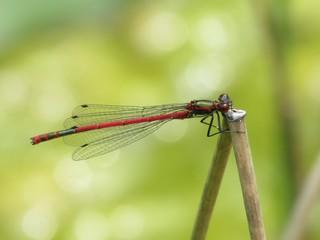 Frühe Adonislibelle (Pyrrhosoma nymphula) - Libellen, Kleinlibellen, Insekt, Flügel, Hautflügel
