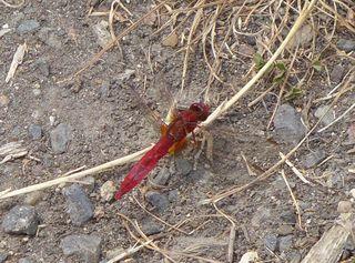 Feuerlibelle (Crocothemis erythraea) - Libellen, Großlibelle, Insekt, Flügel, Hautflügel