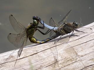Großer Blaupfeil (Orthetrum cancellatum) - Tiere, Insekten, Großlibellen, Sex, Fortpflanzung, Paarung, Hautflügel