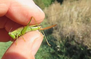 Langflügelige Schwertschrecke (Conocephalus fuscus) - Heuschrecke, Insekt, Wiesen, Mahd