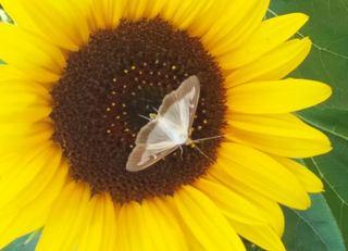Falter auf Sonnenblume - Falter, Sonnenblume, filigran, Blüte, Insekt, Insektenzählung, Nabu
