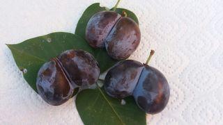 Rarität: Pflaumenärschle - selten, Spezialität, Obst, blau, Steinobst, Pflaume, Pflaumen, Frucht, Früchte