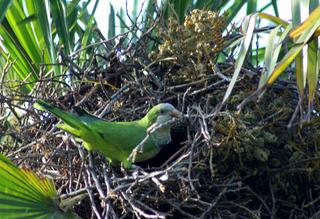Papagei beim Nestbau - Papagei, Sittich, Nest, bauen, Nestbau, Vogel, Schnabel, Ara, grün, Artenschutz, Haustier, Wildtier