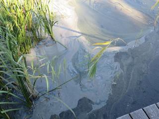 Blaualgen #1 - Bakterien, Cyanobakterien, Wasserqualität, Gesundheitsgefährdung, Badeverbot, Algenblüte, Schlieren, Grünfärbung
