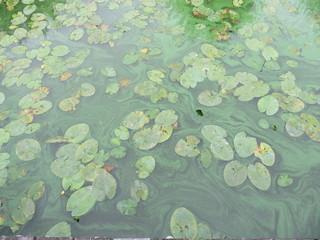 Blaualgen #2 - Bakterien, Cyanobakterien, Wasserqualität, Gesundheitsgefährdung, Badeverbot, Algenblüte, Schlieren, Grünfärbung