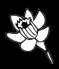 Narzisse - daffodil, Narzisse, Frühblüher, Osterglocke, Blüte, Frühling, Ostern, Blume, eastern, flower