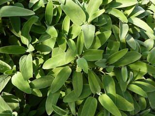 Salbei#1 - Salbei, Lippenblütler, mehrjährig, krautig, Heilpflanze, Tee, Küchengewürz, ätherische Öle