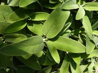 Salbei#2 - Salbei, Lippenblütler, mehrjährig, krautig, Heilpflanze, Tee, Küchengewürz, ätherische Öle