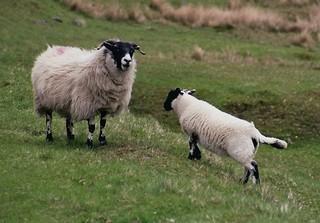 Schafe - Schafe, Natur, Nutztier, Wolle, Schottland, Highlands, Schaf, Haustier, Schaf, weich, weiden, Weide, Milch, Fleisch, Paarhufer, Wiederkäuer
