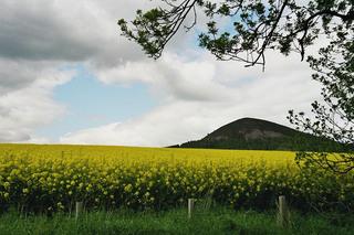 Rapsfeld in den Borders - Raps, Rapsfeld, Borders, Schottland, Natur, Feld, Öl, Nutzfläche, Nutzpflanze, Landwirtschaft, Rapsöl, Kreuzblütler, Agrarwirtschaft