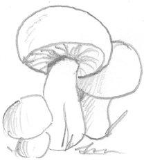 Pilz - Pilz, Pilze, Wald, Handzeichung, heimisch, mushroom, einzeln, Anlaut P, drei, Wörter mit z, Schwammerl