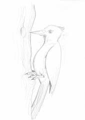 Specht - Tier, Wald, Handzeichung, heimisch, Specht, woodpecker, Vogel, klopfen, Anlaut V, Anlaut S, Schnabel, Baumstamm, Illustration