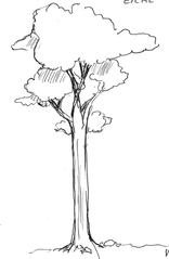 Baum - Baum, Anlaut B, Wald, Handzeichung, heimisch, Nadelbaum, Wald, Stamm, Krone