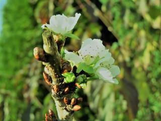 Kirschblüten im November - Kirsche, Herbst Bäume, Blüte, blühen, Knospen, Blüten, Knospe, Obstbaumblüte, Pflanze, Baum