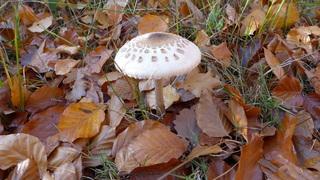 Riesenschirmpilz - Schirmbild, Riesenschirmpilz, Riesenschirmling, Parasol, Waldboden, Herbstlaub