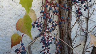 Wilder Wein - Kletterpflanze, wilder Wein, wild, Wein, Herbst, Laub, bunt, Herbstlaub, Beeren, rot, Beeren, blau, Herbstfarben, Weinrebe, Gewächs