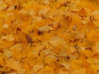 Ginkgo im Herbst - Ginkgo biloba, Ginko, Baum, Pflanze, Ginkgo, ginkgo biloba, fernöstlich, asiatisch, China, Baum, Laubbaum, nacktsamig, Fossil, einmalig, fächerförmig, lebendes Fossil, Blatt, Blätter, Heilpflanze, Zierbaum, Goethe, zweihäusig