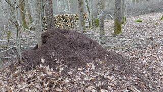Ameisenhaufen - Ameisen, Ameisenvolk, Waldbewohner, Ameisenhaufen, Ameise, Gewimmel, fleißig, klein, emsig, viele, schleppen, krabbeln, Wald
