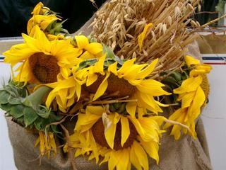 Sonnenblumen - Sonnenblume, Sonnenblumen, Herbst, Erntedankfest, Sonne, Blume, Blumen, Korbblütler