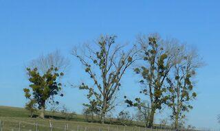 Misteln  an Bäumen - Misteln, Baum, Sandelholzgewächs, Halbschmarotzer, immergrün, Baum