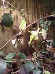 Wandelndes Blatt (Suchbild) - Insekten, Gespenstschrecke, Tarnung