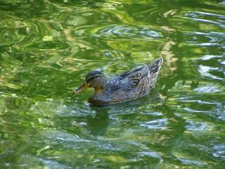 Ente - Ente, Tier, Vogel, Wasser, Stockente