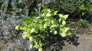 Stinkende Nieswurz - Nieswurz, stinkend, Helleborus foetidus, Gartenpflanze, Hahnenfußgewächs
