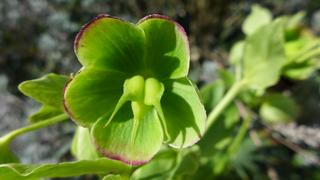 Blüte einer stinkenden Nieswurz - Nieswurz, stinkend, Helleborus foetidus, Gartenpflanze, Hahnenfußgewächs