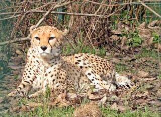 Gepard - Gepard, Katze, Raubtier, schlank, schnell, gefleckt, Flecken