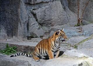 junger Tiger - Tiger, schlafen, Zoo, Raubtier, Großkatze, Katze, Raubkatze, Tarnung, Camouflage, Streifen, getigert, gestreift